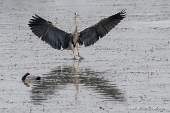 Grey Heron - Alviano - The Hall of Einar - photograph (c) David Bailey (not the)