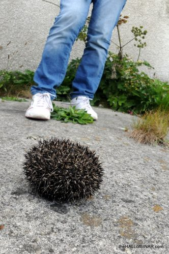Hedgehog - The Hall of Einar - photograph (c) David Bailey (not the)