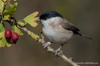 Marsh Tit - Alviano - The Hall of Einar - photograph (c) David Bailey (not the)