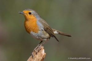 Robin - The Hall of Einar - photograph (c) David Bailey (not the)
