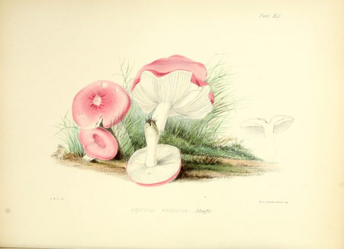Russula emetica - The Hall of Einar