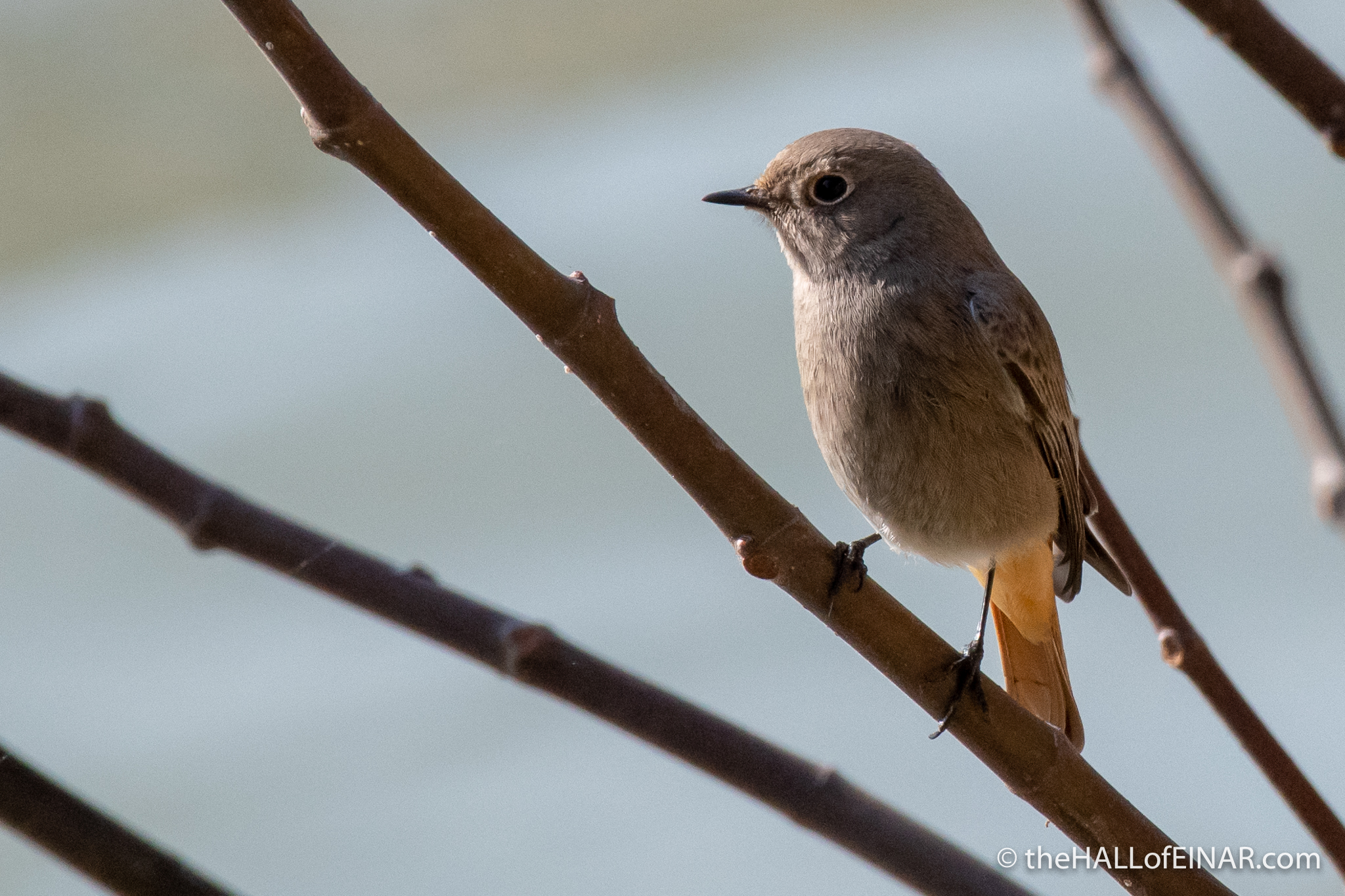 Black Redstart on the Tevere - The Hall of Einar - photograph (c) David Bailey (not the)