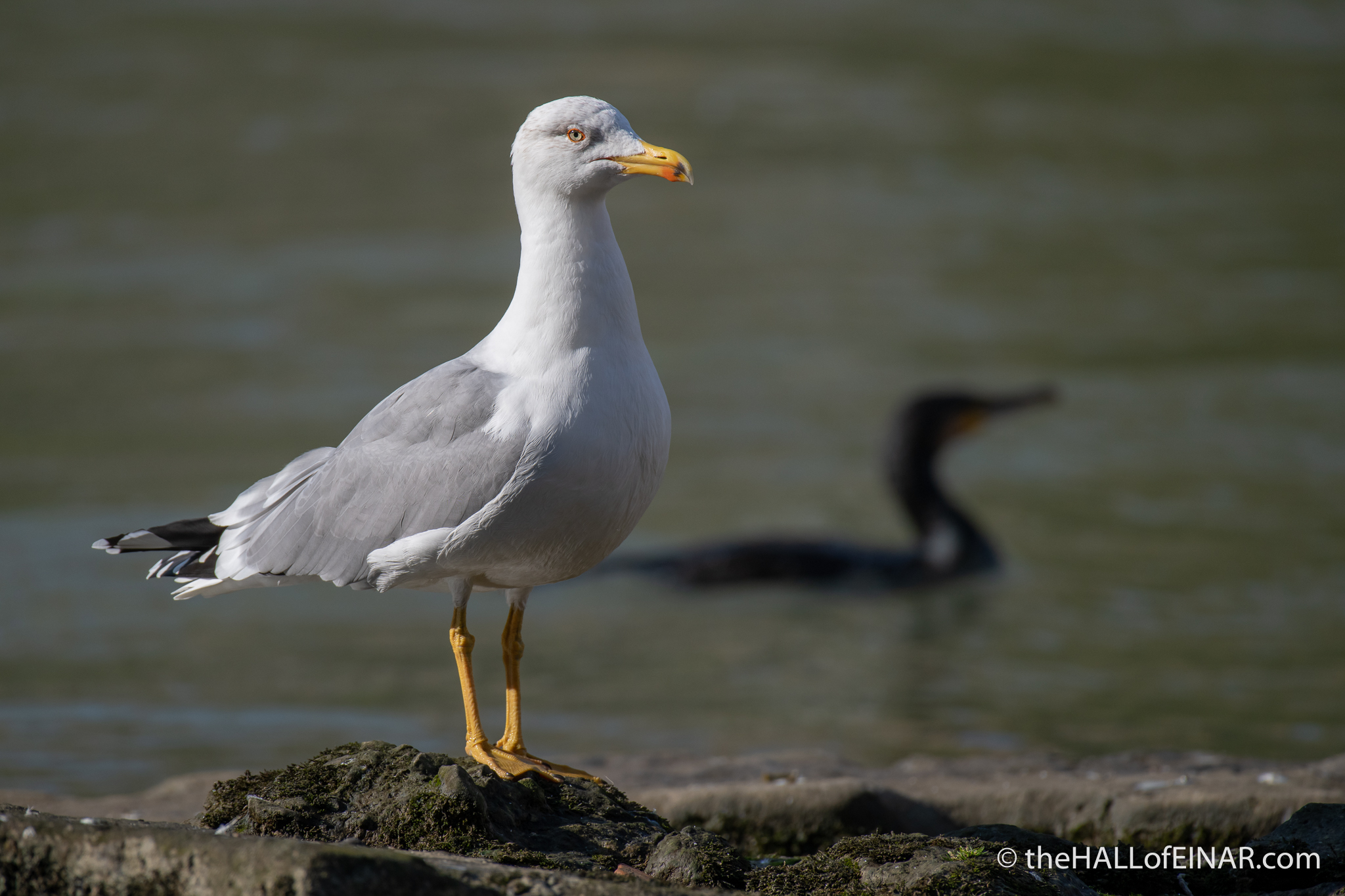 Yellow-Legged Gull - The Hall of Einar - photograph (c) David Bailey (not the)