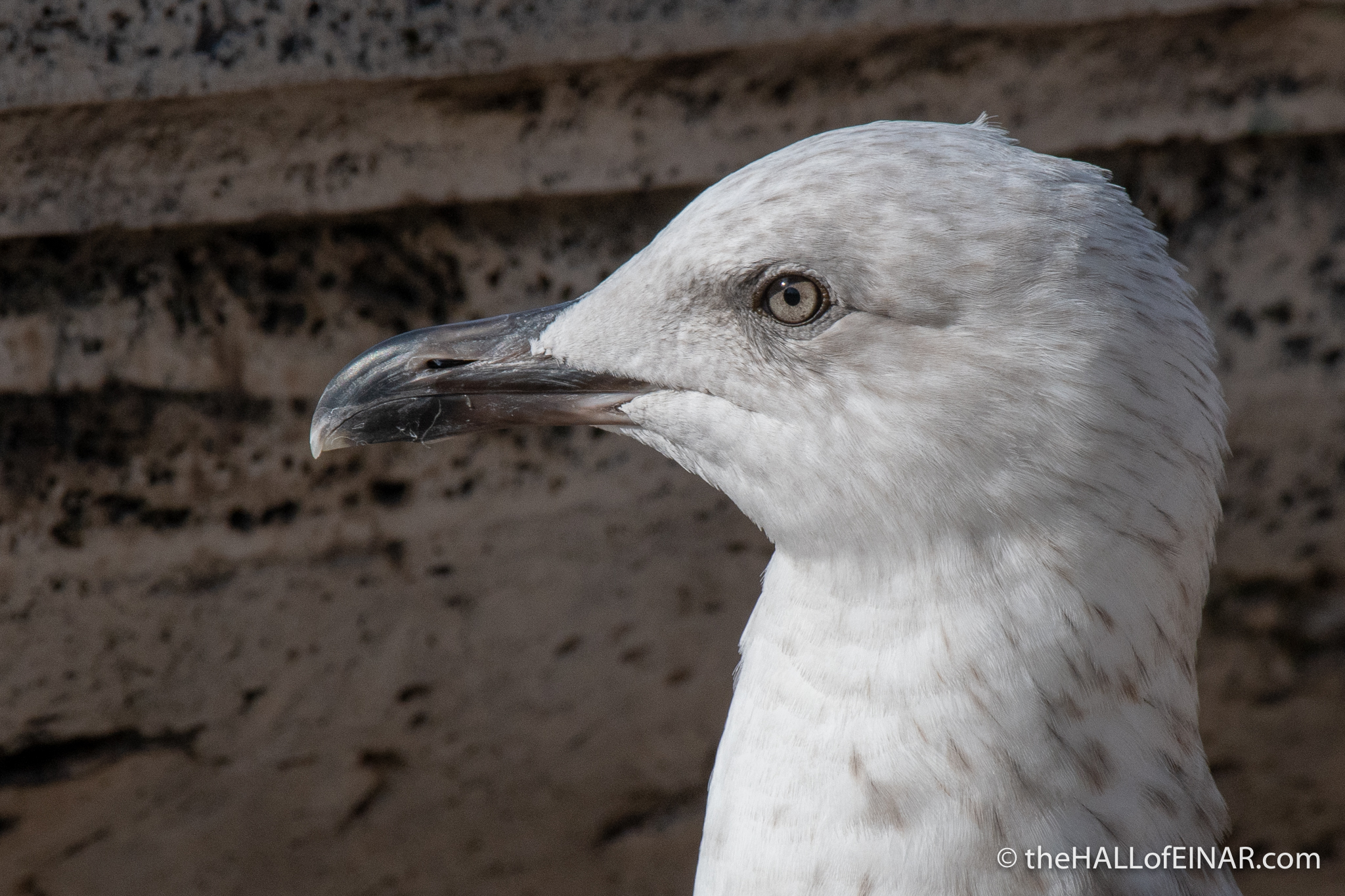 Yellow Legged Gull - Rome - The Hall of Einar - photograph (c) David Bailey (not the)