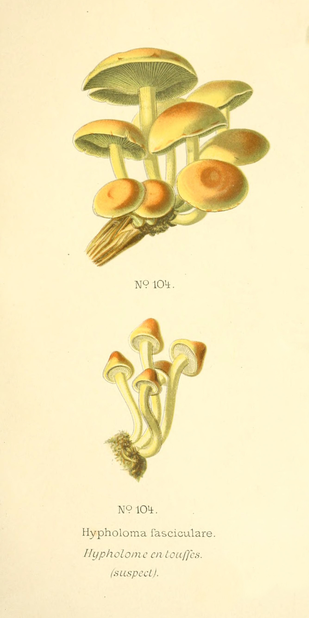 Hypholoma fasciculare - The Hall of Einar - photograph (c) David Bailey (not the)