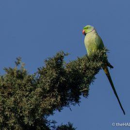Ring Necked Parakeet - The Hall of Einar - photograph (c) David Bailey (not the)