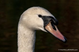 Mute Swan - Decoy - The Hall of Einar - photograph (c) David Bailey (not the)