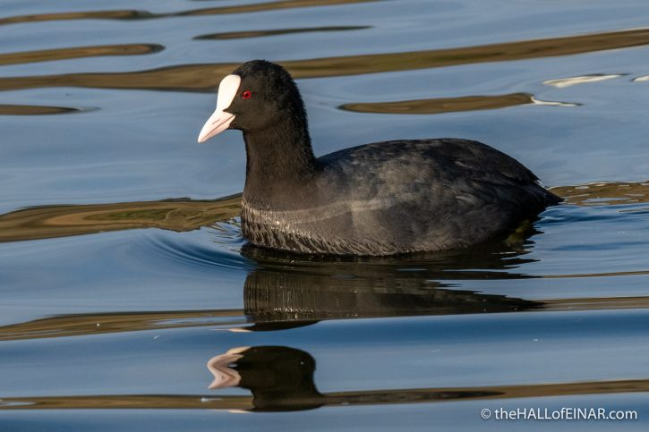 Coot - Decoy - The Hall of Einar - photograph (c) David Bailey (not the)