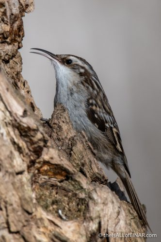 Short-Toed Treecreeper - Lago di Alviano - The Hall of Einar - photograph (c) David Bailey (not the)