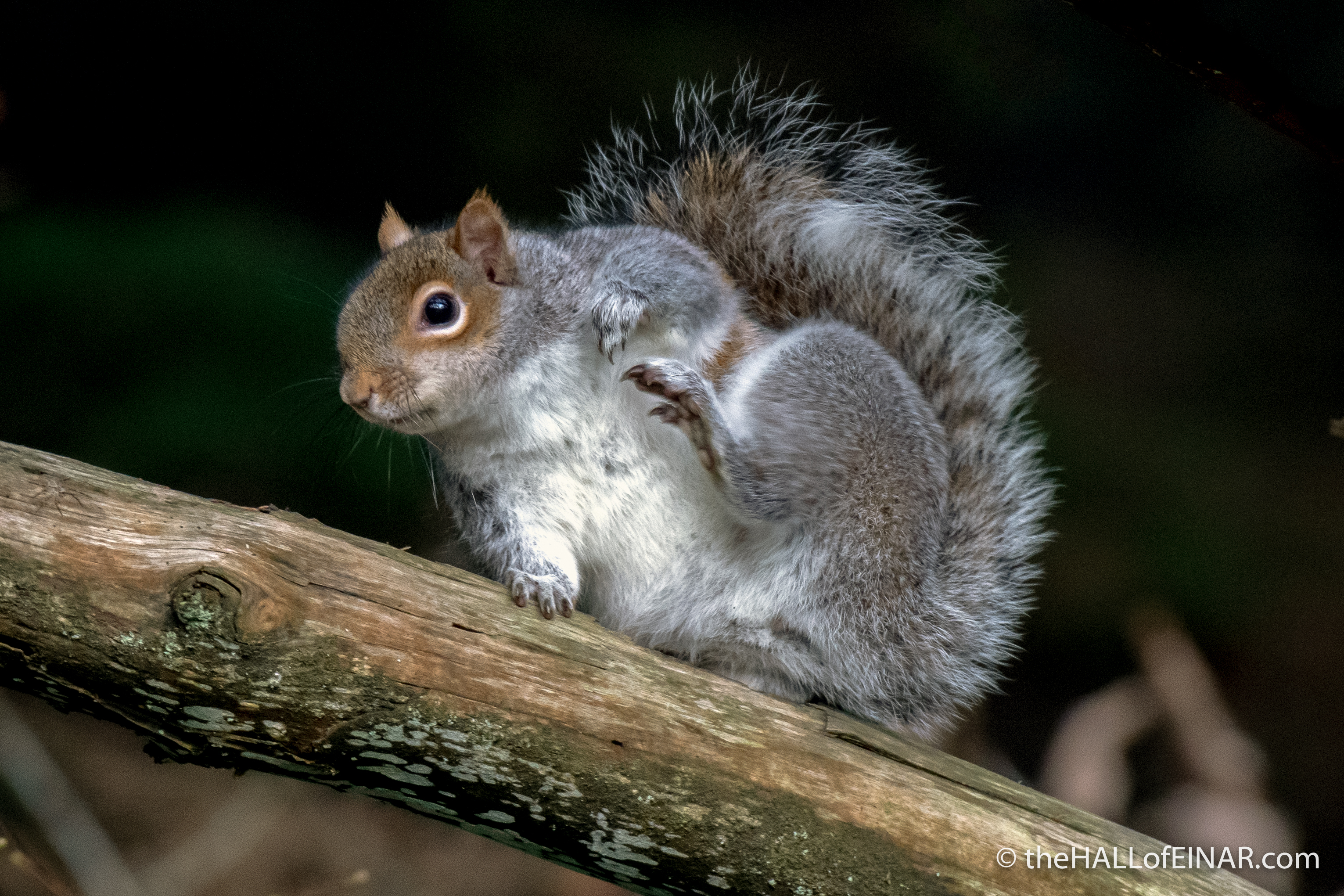 Squirrel - The Hall of Einar - photograph (c) David Bailey (not the)
