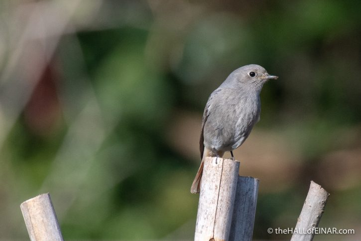 Black Redstart - Caffarella - The Hall of Einar - photograph (c) David Bailey (not the)