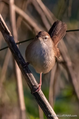 Cetti's Warbler - Caffarella - The Hall of Einar - photograph (c) David Bailey (not the)