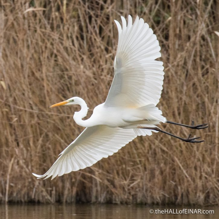 Great White Egret - Lago di Alviano - The Hall of Einar - photograph (c) David Bailey (not the)