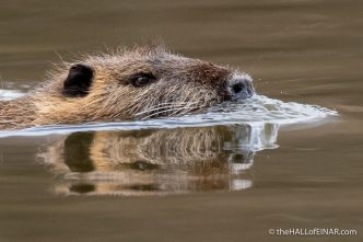 Coypu - Lago di Alviano - The Hall of Einar - photograph (c) David Bailey (not the)