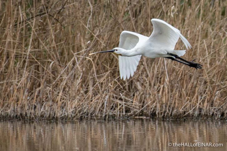 Spoonbill - Lago di Alviano - The Hall of Einar - photograph (c) David Bailey (not the)