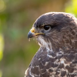 Common Buzzard - The Hall of Einar - photograph (c) David Bailey (not the)