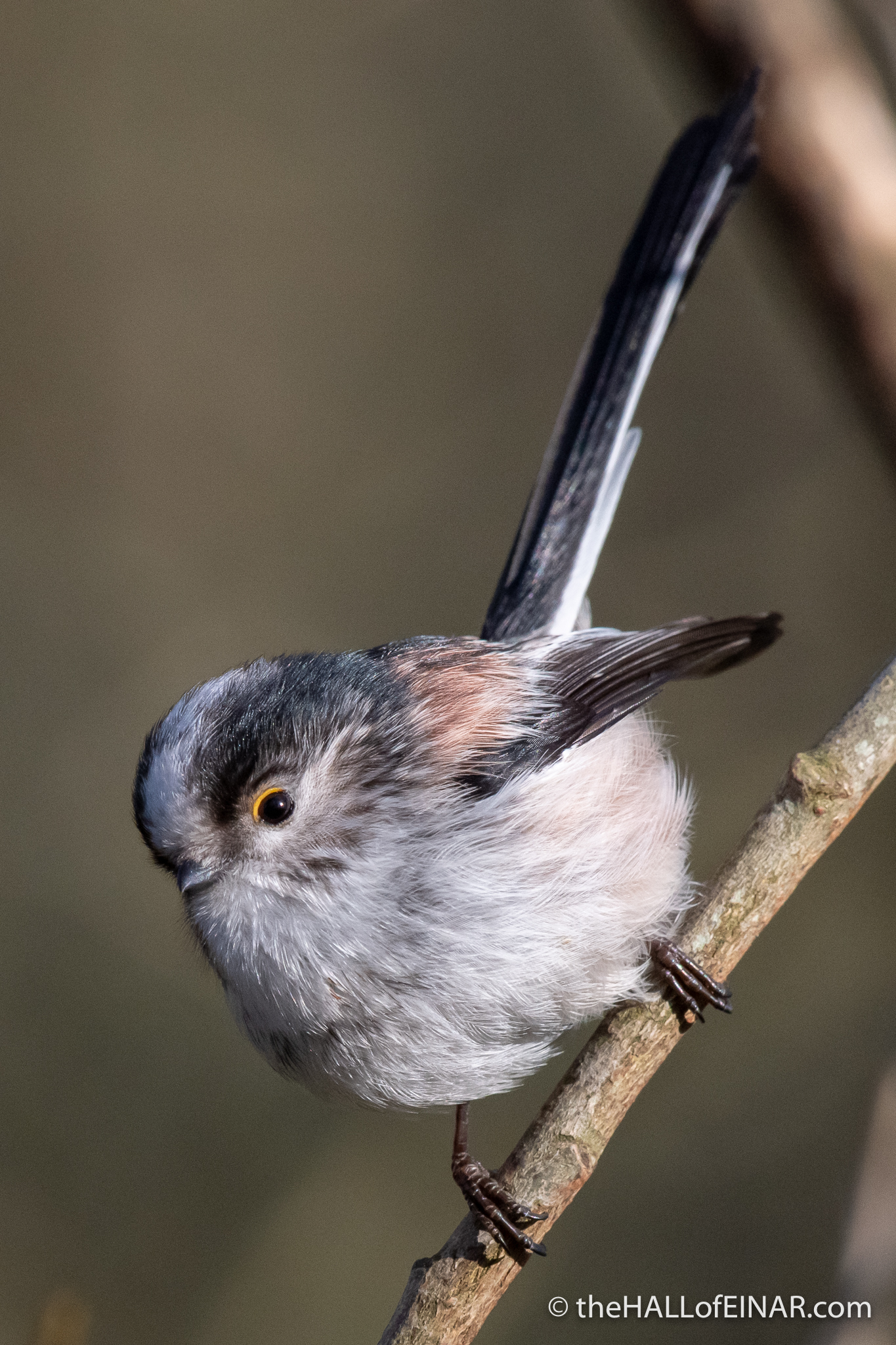 Long Tailed Bushtit - Stover - The Hall of Einar - photograph (c) David Bailey (not the)