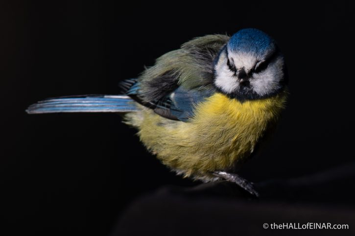Blue Tit - Stover - The Hall of Einar - photograph (c) David Bailey (not the)