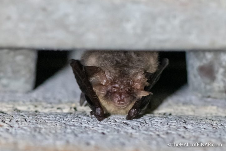 Brown Long-Eared Bat - The Hall of Einar - photograph (c) David Bailey (not the)