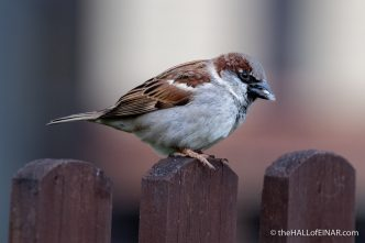 House Sparrow - Lodmoor - The Hall of Einar - photograph (c) David Bailey (not the)