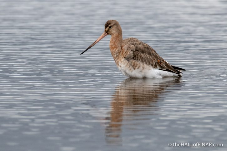 Black-Tailed Godwit - Lodmoor - The Hall of Einar - photograph (c) David Bailey (not the)