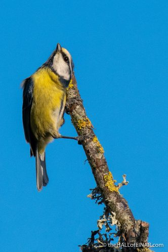 Blue Tit - RSPB Lodmoor - The Hall of Einar - photograph (c) David Bailey (not the)