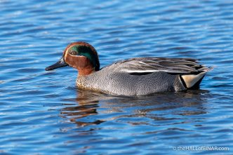 Teal - RSPB Lodmoor - The Hall of Einar - photograph (c) David Bailey (not the)