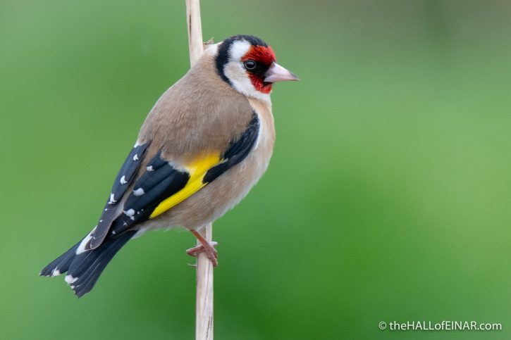 Goldfinch - Seaton - The Hall of Einar - photograph (c) David Bailey (not the)