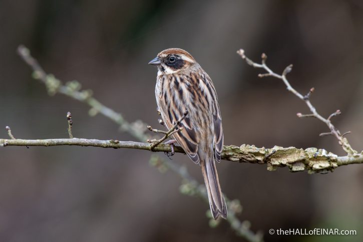 Reed Bunting - Seaton - The Hall of Einar - photograph (c) David Bailey (not the)