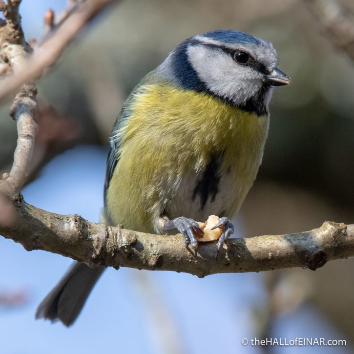 Blue Tit at Stover - The Hall of Einar - photograph (c) David Bailey (not the)