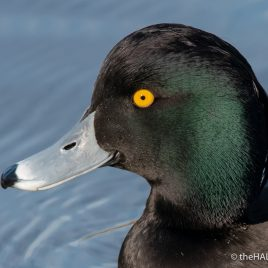 Tufted Duck at Stover - The Hall of Einar - photograph (c) David Bailey (not the)