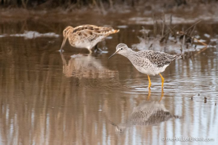 Lesser Yellowlegs and Snipe - Lodmoor - The Hall of Einar - photograph (c) David Bailey (not the)
