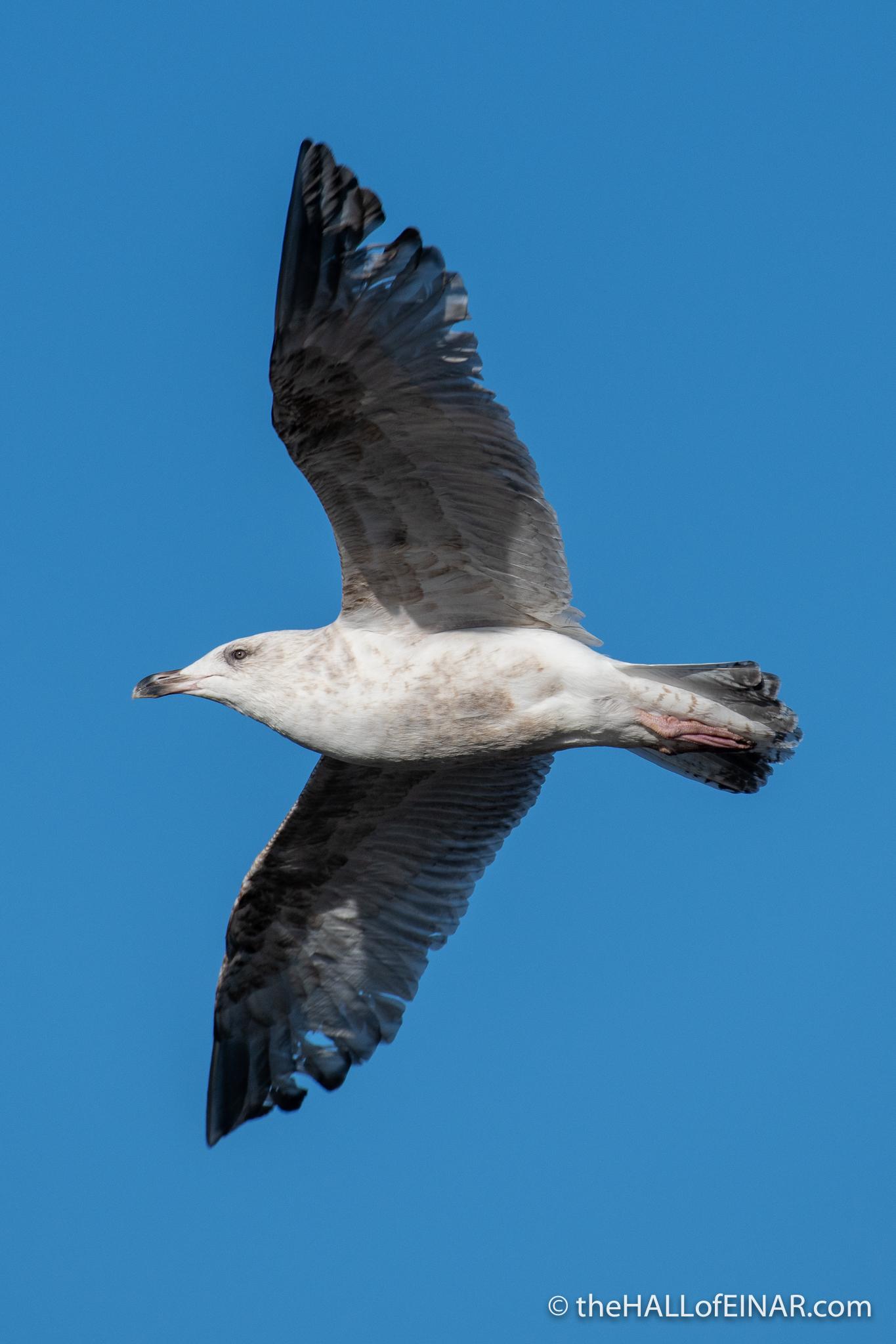 Herring Gull - Lodmoor - The Hall of Einar - photograph (c) David Bailey (not the)