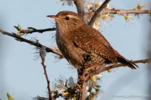 Wren - Lodmoor - The Hall of Einar - photograph (c) David Bailey (not the)