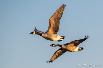 Canada Geese - Lodmoor - The Hall of Einar - photograph (c) David Bailey (not the)