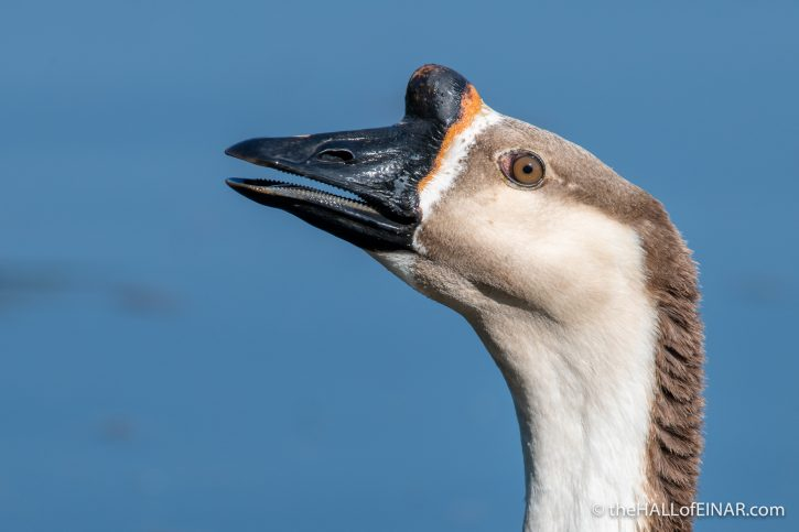 Chinese Goose - Crime Lake - The Hall of Einar - photograph (c) David Bailey (not the)