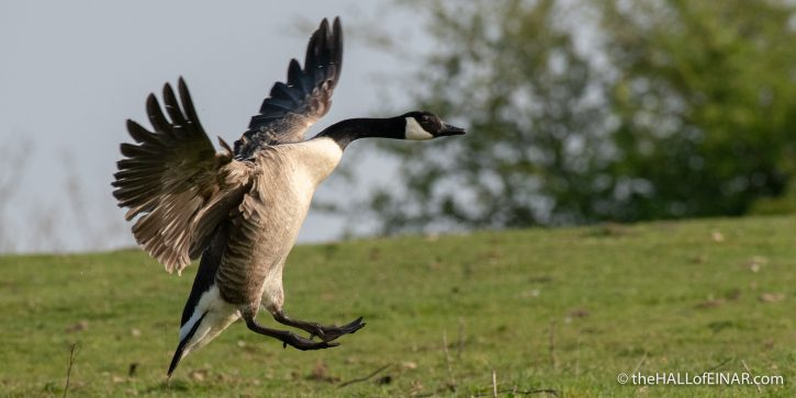 Canada Goose - Crime Lake - The Hall of Einar - photograph (c) David Bailey (not the)