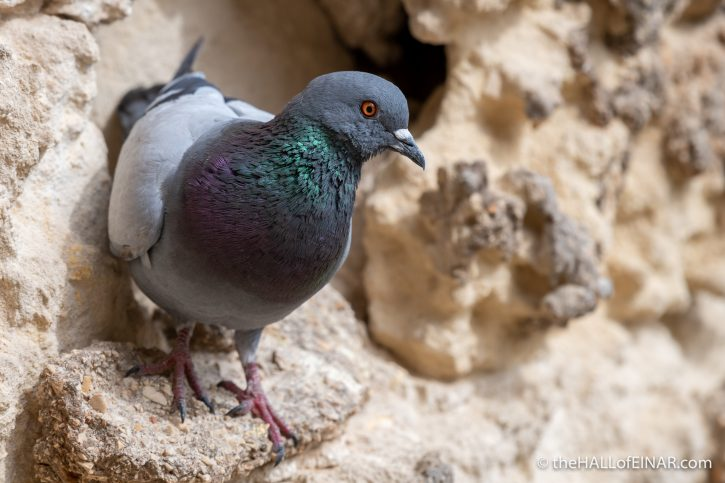 Pigeon in Matera - The Hall of Einar - photograph (c) David Bailey (not the)