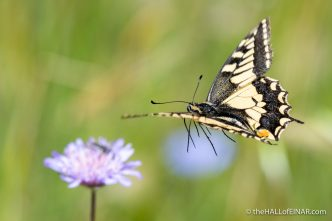 Swallowtail Butterfly - Matera - The Hall of Einar - photograph (c) David Bailey (not the)