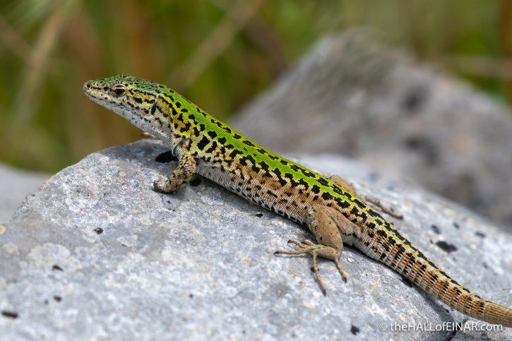 Italian Wall Lizard - Matera - The Hall of Einar - photograph (c) David Bailey (not the)