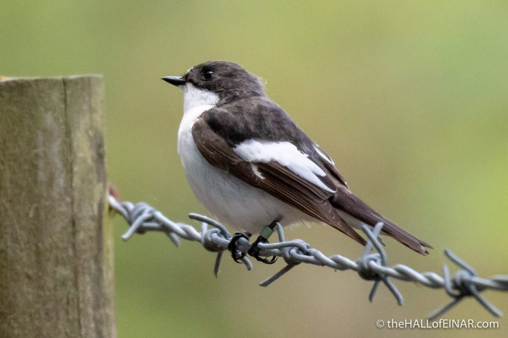 Pied Flycatcher in Yarner Wood - The Hall of Einar - photograph (c) David Bailey (not the)