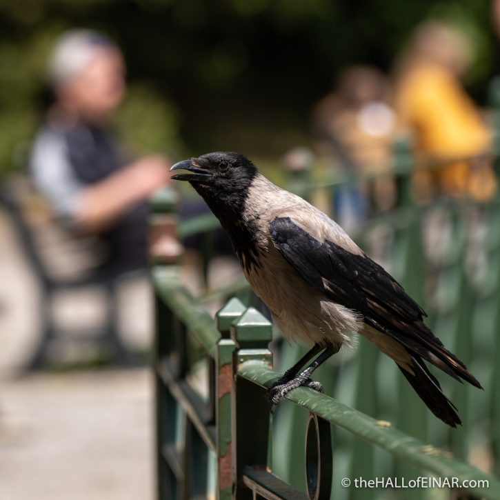 Hooded Crow - Villa Pamphilj - The Hall of Einar - photograph (c) David Bailey (not the)