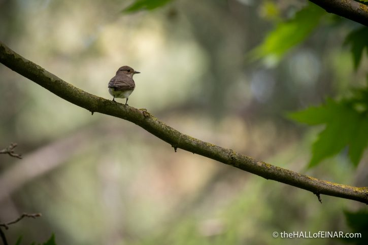 Spotted Flycatcher - Villa Pamphilj - The Hall of Einar - photograph (c) David Bailey (not the)