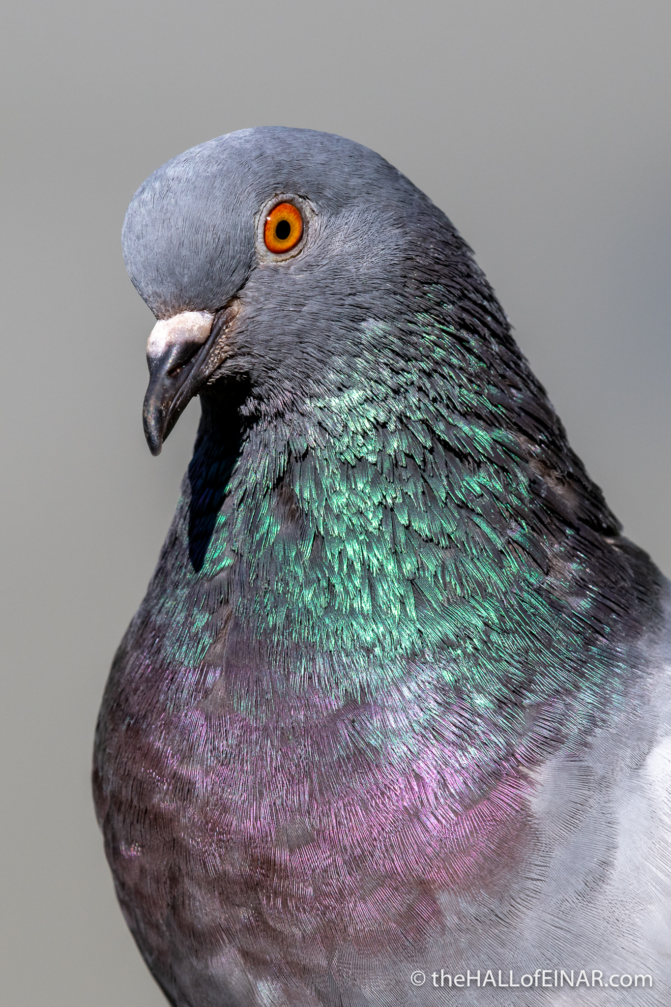 Feral Pigeon - Villa Pamphilj - The Hall of Einar - photograph (c) David Bailey (not the)