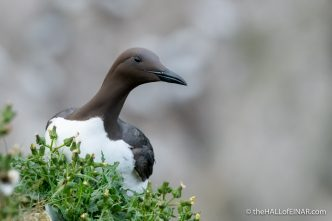 Guillemot at Bempton - The Hall of Einar - photograph (c) David Bailey (not the)