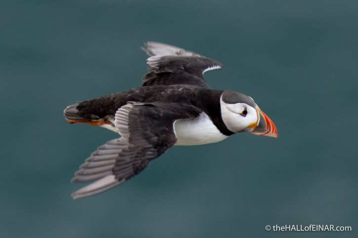 Puffin - Bempton - The Hall of Einar - photograph (c) David Bailey (not the)