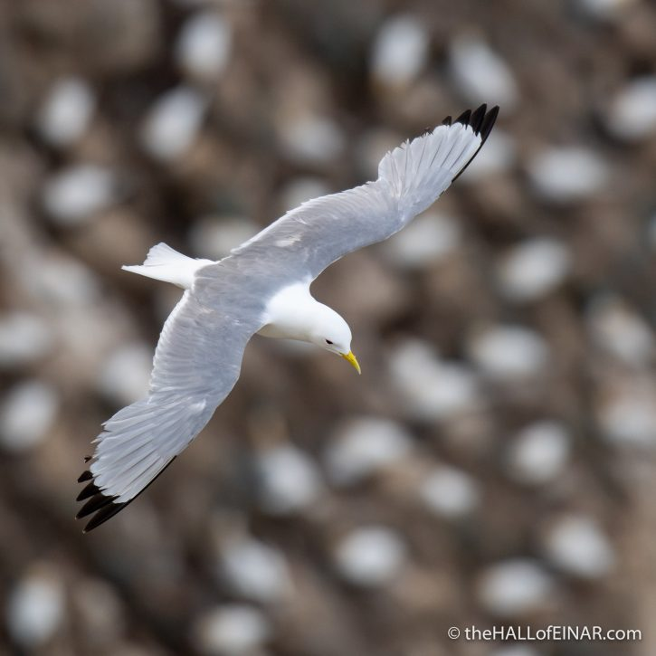 Kittiwake at Bempton - The Hall of Einar - photograph (c) David Bailey (not the)