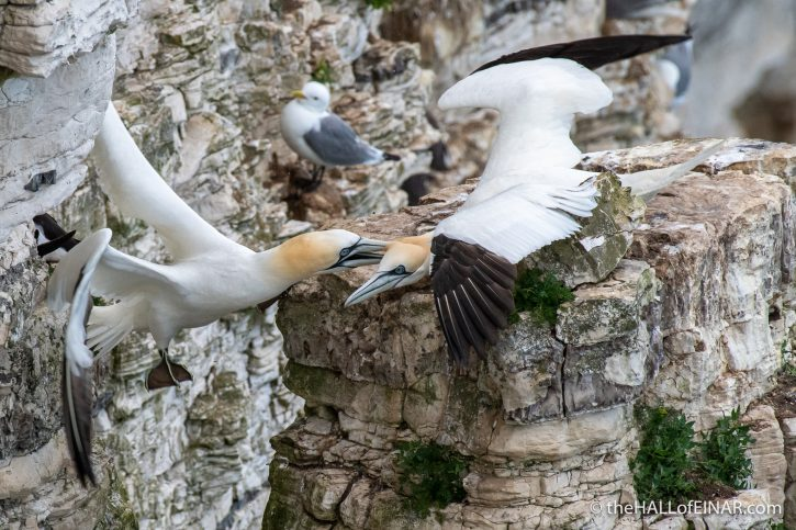 Gannets fighting at Bempton - The Hall of Einar - photograph (c) David Bailey (not the)