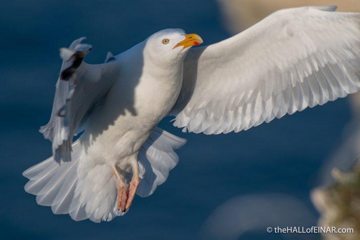 Herring Gull - Bempton - The Hall of Einar - photograph (c) David Bailey (not the)