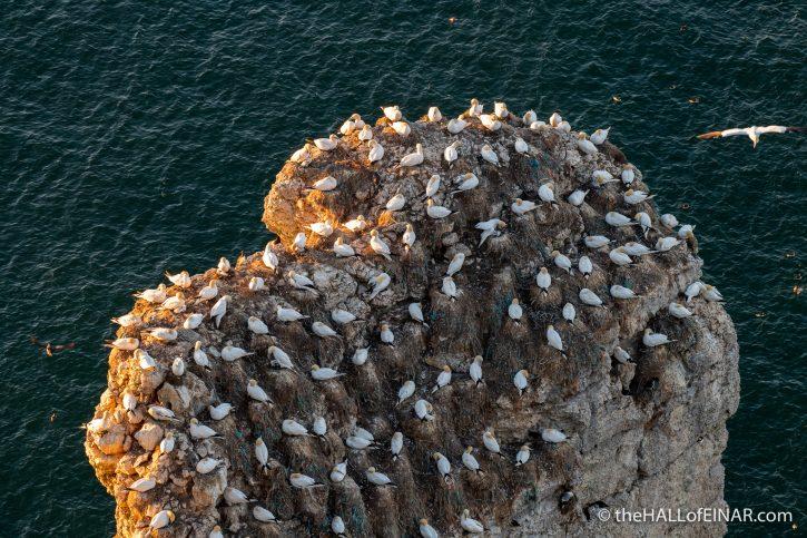 Gannets - Bempton - The Hall of Einar - photograph (c) David Bailey (not the)